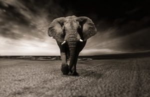 elephant-2870777__340