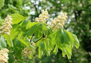 horse-chestnut-3374068__340