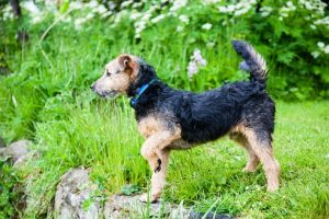 lakeland-terrier-908690__340
