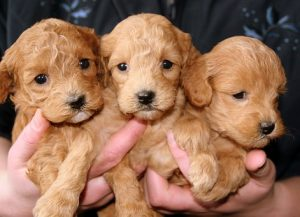 puppies-688425__340