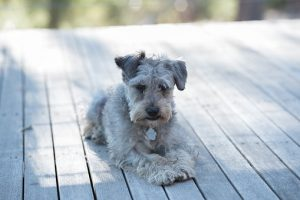 schnoodle-3295492__340