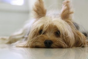 yorkshire-terrier-171701__340