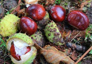 chestnuts-2788365__340