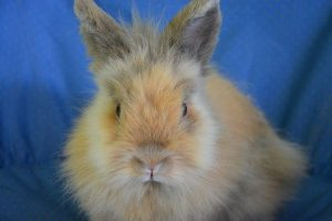 dwarf-rabbit-2655044__340